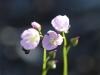 Tall Sundew - Drosera auriculata