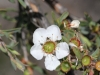 Closeup of Heath Tea-tree - Leptospermum myrsinoides