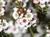 Not strictly a Tea-tree, this is known as the Jam Tart - Thryptomeme ericaea