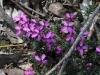 KI Tetratheca - 4 petals Tretratheca insularis