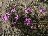 Leafless KI Tetratheca 5 petals - Tetratheca halmaturina