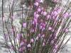 Leafless KI Tetratheca - a lovely specimen