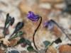 A Tiny Violet - Viola sieberiana