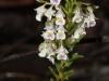 Shrub Violet-Hybanthus floribundus