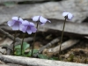 Tiny Violet - Viola sieberiana
