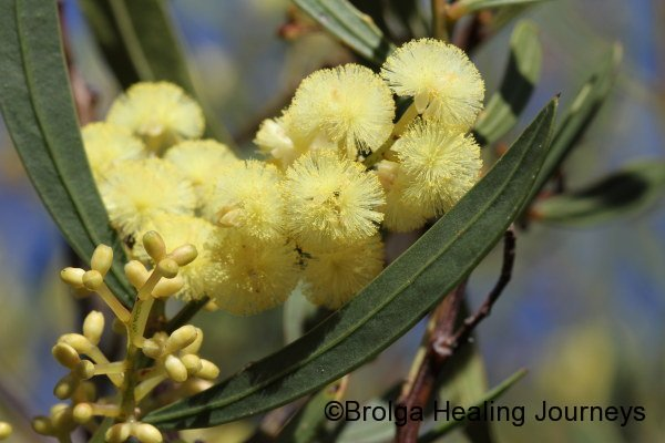 Narrow Leaf Myrtle Wattle - Acacia myrtifolia var angustifolia - common out our way but beautiful