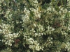 A mass of Narrow-leaf Myrtle Wattle blossoms - Acacia myrtifolia