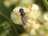 A native bee enjoys one of our wattle flowers