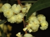 Closeup of Narrow-leaf Myrtle Wattle
