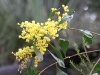 Golden Wattle - Acacia pycnantha -with its unusual broad leaves