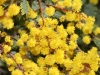 Introduced from the mainland - Cootamundra Wattle - Acacia baileyana