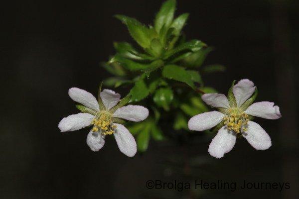 Closeup of Wiry Bauera - Bauera rubioides