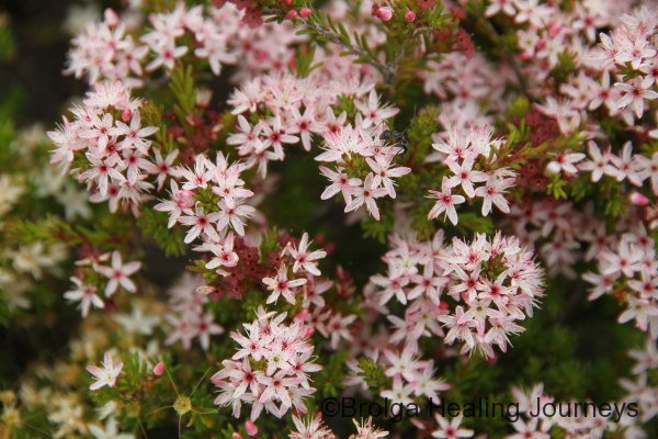 Smooth Heath-Myrtle - Calytrix glaberrima