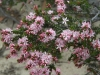 Another Smooth Heath Myrtle - Calytrix glaberrima