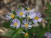 Azure Daisy-bush - Olearia rudis