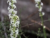 Bushy Candles - Stackhousia aspericocca ssp. 'cylindrical inflorescence'
