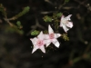 Calytrix I think - covered with raindrops