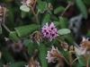 Drooping Velvet Bush - Lasiopetalum schulzenii