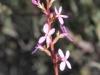 Grass Trigger-plant - Stylidium graminifolium