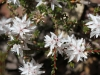 One of the beautiful Honey Myrtles - Calytrix sp.
