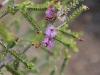 Slender Honey Myrtle - Melaleuca gibbosa