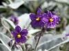 Flowers of the Wild Tomato Bush