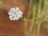 Lace-flower