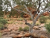 A tough red gum above the canyon