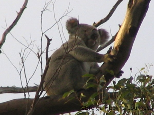 Male Koala, Crows Nest Ntl Pk, QLD
