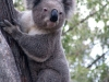 Koala, Warrumbungle Ntl Pk, NSW