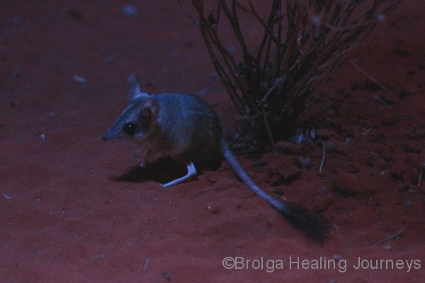 The Kultarr, a tiny but ferocious marsupial! Nocturnal house, Alice Springs Desert Park