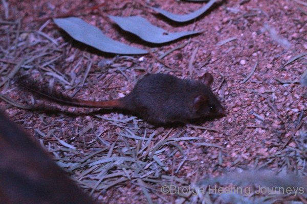 Another view of the Red Tailed Phascogale