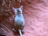 Kultarr, Alice Springs Desert Park