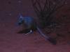 The Kultarr, a tiny but ferocious marsupial! Nocturnal house, Alice Springs Desert Park