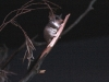 Red Tailed Phascogale - another carnivorous marsupial in the Nocturnal House, Alice Springs Desert Park