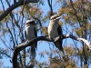 Two Laughing Kookaburras, Crows Nest National Park, QLD