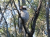 Laughing Kookaburra, Crows Nest National Park, QLD