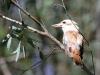 Kookaburra sits in the old gum tree.