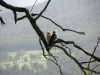 Laughing Kookaburras, early morning, above Healesville Victoria