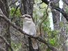 Laughing Kookaburra, Crystal Springs campsite, D'Entrecasteaux National Park, WA