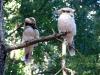 Laughing Kookaburras, Big Brook campsite, near Pemberton WA