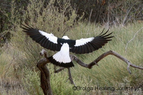 Australian Magpie showing its beautiful wings