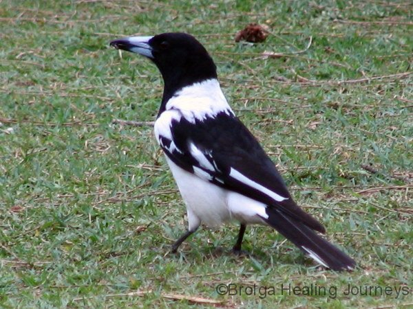 pied-butcherbird-hat-head-ntl-pk-nsw