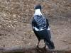 australian-magpie-adult-male-western-race-parry-beach-sth-west-wa_0