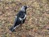 australian-magpie-after-heavy-rain-warrumbungle-ntl-pk-nsw_0