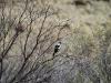 A Magpie surveys the ground, Rocky Gap walk, West MacDonnell Ranges