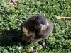 magpie-nestling