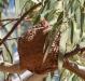 peewee-nestlings-in-nest-todd-river-nth-of-alice-springs-nt - version 2