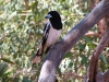 pied-butcherbird-base-of-uluru-nt