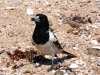 pied-butcherbird-east-lewis-island-dampier-archipeligo-pilbara-wa